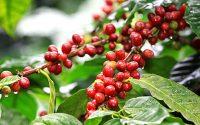 thủ tục xin giấy phép CFS cho cà phê